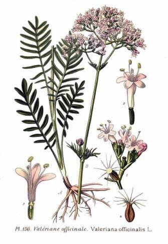Ajurveda z domačimi rastlinami: baldrijan
