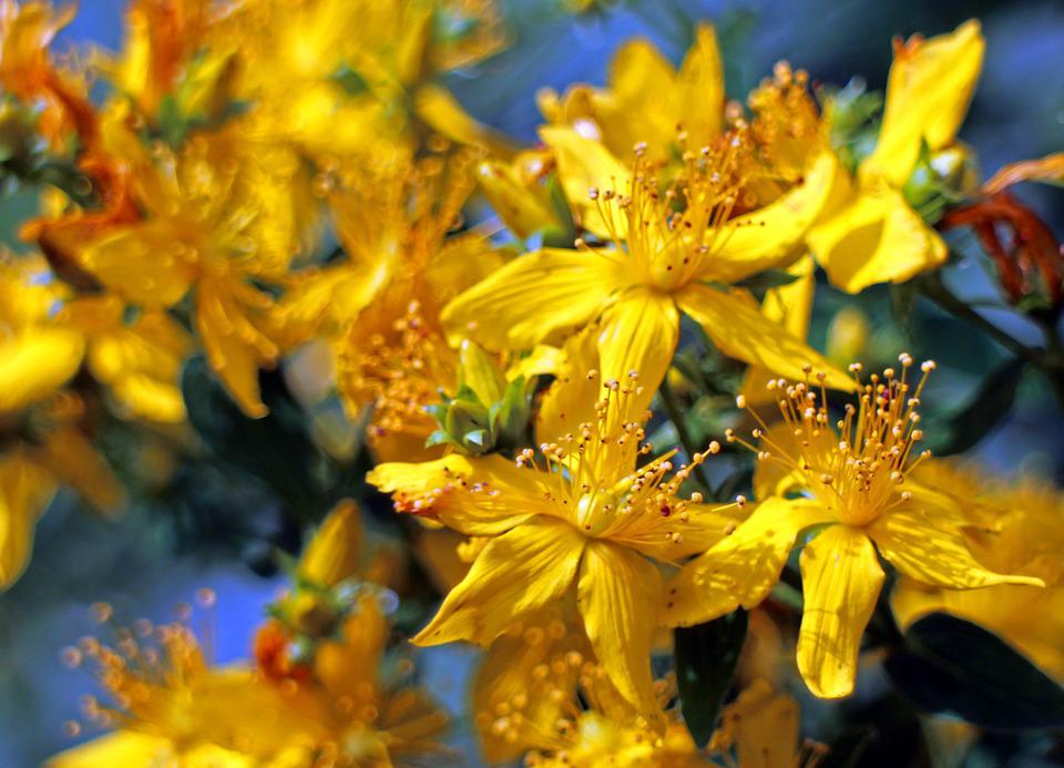 Ajurveda z domačimi rastlinami: ŠENTJANŽEVKA